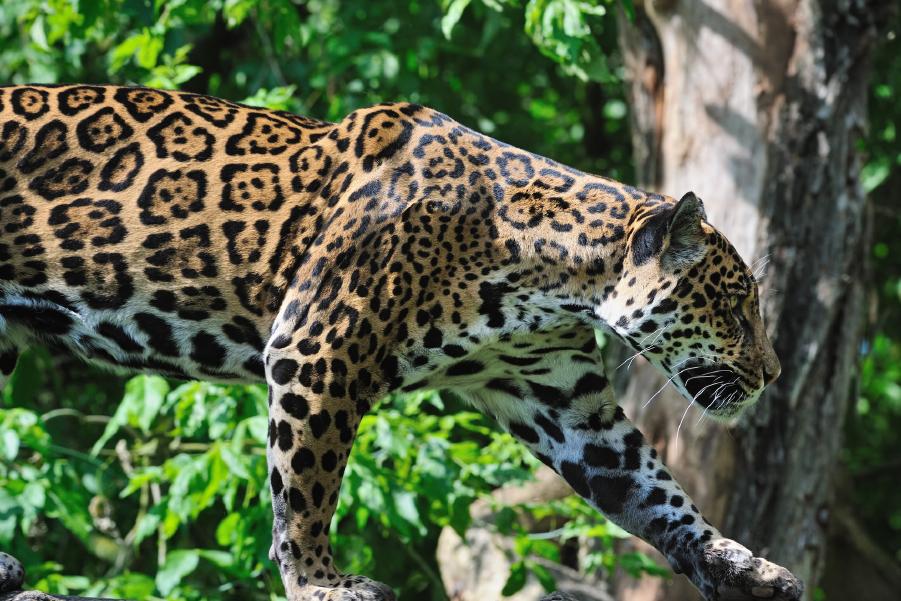 Un leopardo en la reserva de fauna autóctona del Cerro Pan de Azúcar