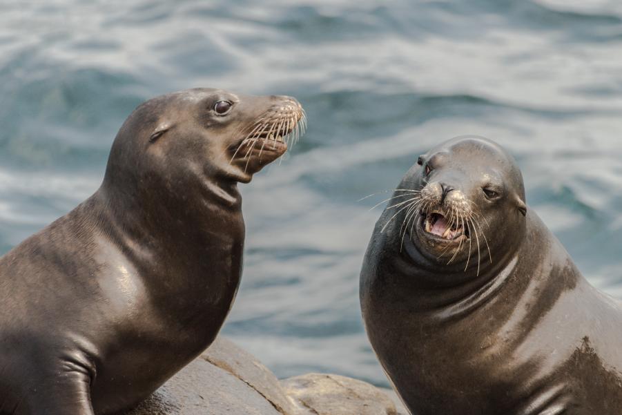 Dos lobos marinos fuera del agua en Talcahuano