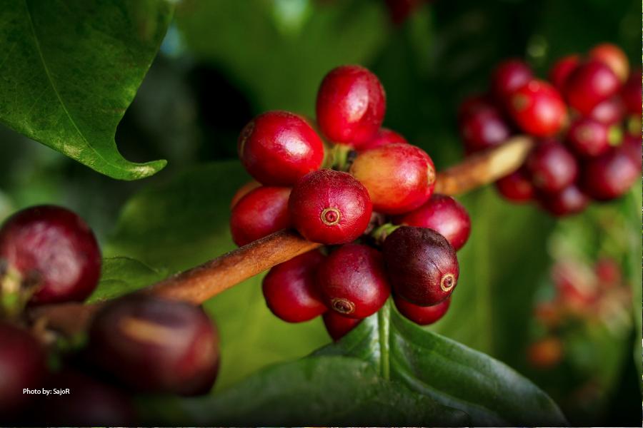 Planta de café del Jardín Botánico de Medellín